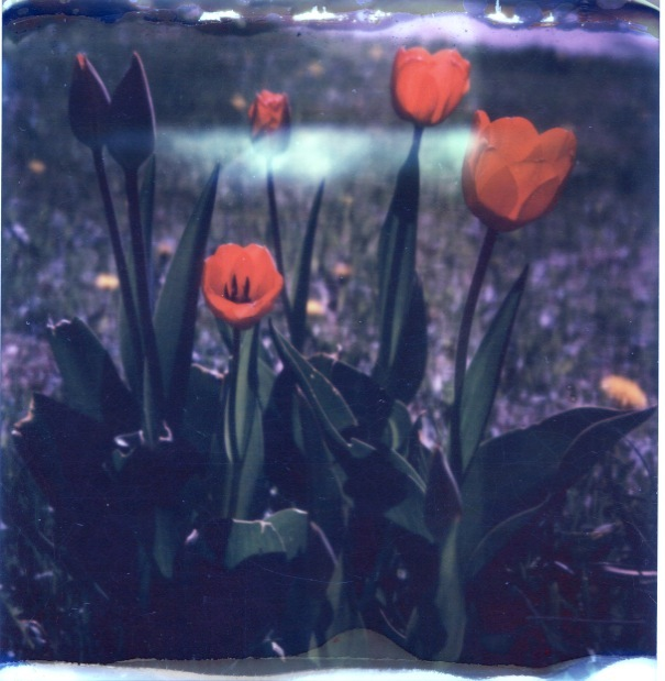 polaroidtulips
